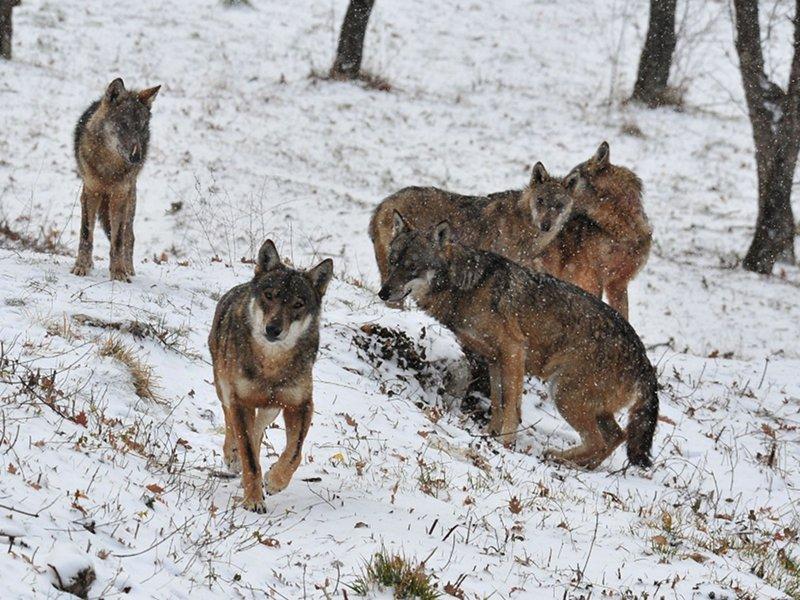 Ciaspolata, il lupo e i lupari